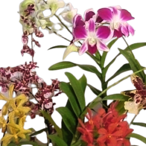 Orchid of the month